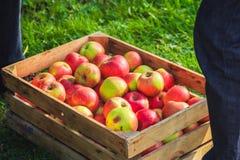 Caixa de madeira das maçãs da colheita do outono Imagem de Stock