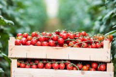 Caixa de madeira de tomates de cereja dos grupos na estufa imagem de stock royalty free