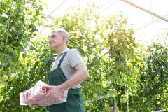 Caixa levando do jardineiro superior ao andar por plantas na estufa imagem de stock