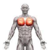 A caixa Muscles - pectoralis - principal e menor - iso dos músculos da anatomia Imagem de Stock Royalty Free