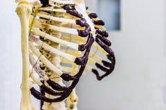 A caixa torácica articulada desossa mostrar a anatomia humana do tórax no fundo branco fotografia de stock royalty free
