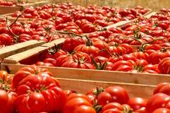Caixas com tomates Fotografia de Stock