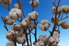 Caixas do algodão em arbustos fotografia de stock