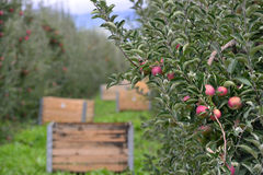 Caixas do pomar de Apple Imagens de Stock