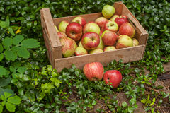 Cajón de manzanas maduras frescas en jardín en hierba verde Fotos de archivo