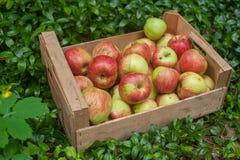 Cajón de manzanas maduras frescas en jardín en hierba verde Foto de archivo libre de regalías