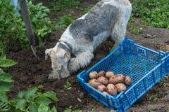 Caja con patatas y un fox terrier Fotos de archivo libres de regalías
