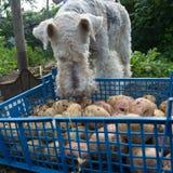 Caja con patatas y un fox terrier Imágenes de archivo libres de regalías