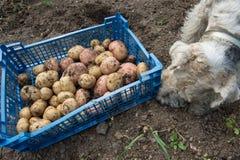 Caja con patatas y un fox terrier Imagenes de archivo