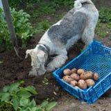 Caja con patatas y un fox terrier Foto de archivo
