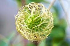 Caja de la semilla de flor de la clemátide Fotos de archivo libres de regalías
