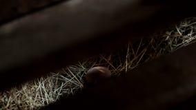Caja de madera abierta para revelar un huevo, escena de la granja almacen de metraje de vídeo