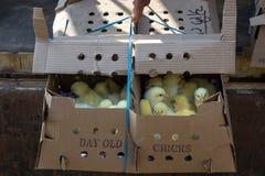Caja de polluelos viejos del día Imagenes de archivo