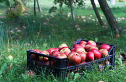Caja por completo de manzanas Imagenes de archivo