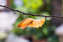Caja pupal birdwing de oro de la mariposa Fotos de archivo