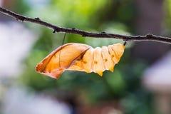 Caja pupal birdwing de oro de la mariposa Fotografía de archivo libre de regalías