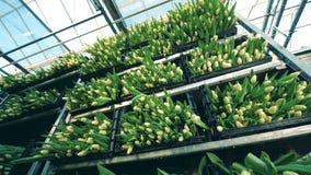 Cajas plásticas llenadas de los tulipanes blancos almacen de video