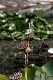 Cajas secas de la fruta de primer de las flores de loto Foto de archivo libre de regalías