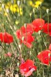 Cajas y flores de la amapola salvaje en las montañas Imágenes de archivo libres de regalías