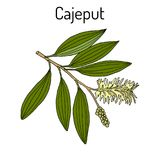 Cajeput Melaleuca leucadendron , or weeping paperbark, medicinal plant. Hand drawn botanical vector illustration Stock Photos