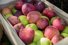 Cajón por completo de manzanas cerca de un árbol Imagen de archivo libre de regalías