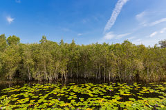Cajuput, white Samet tree growing at Swamp flooded forest in water with lotus flower leaves in Rayong, Thailand. Cajuput, white Samet tree growing at Swamp royalty free stock images