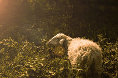 Cakiel na dzikim Fotografia Stock