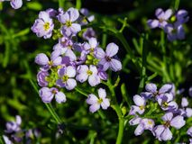 Cakile baltica or Baltic searocket flowers at sand beach close-up, selective focus, shallow DOF.  stock photo
