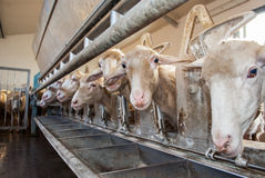 Cakla gospodarstwo rolne Fotografia Stock