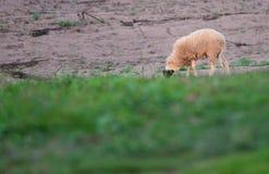 Cakla gospodarstwo rolne Zdjęcie Royalty Free