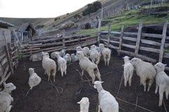 Cakla gospodarstwo rolne Zdjęcie Stock