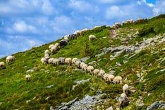Cakla stada spacer na zielonego wzgórza skłonie Zdjęcia Stock