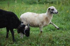 Cakle, halni cakle, Carpathians, Kvass Natura fotografia stock