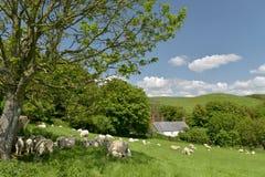 Cakle i baranki w polu, Abbotsbury Obraz Stock