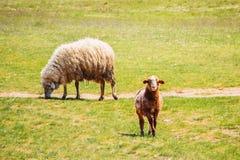 Cakle i pojedynczy baranek na patrzeć na wiosny trawie zdjęcie stock