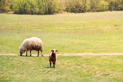 Cakle i pojedynczy baranek na patrzeć na zielonej trawie obraz royalty free