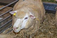 Cakle między słoma w sheepfold bydło jarmark fotografia royalty free