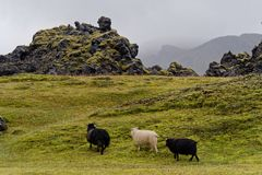 Cakle na paśniku w Iceland obrazy royalty free