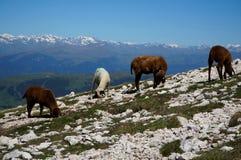 Cakle pasają na skalistej łące w górach Fotografia Royalty Free