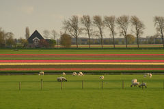 Cakle pasają w trawie na tulipanu gospodarstwie rolnym w Zachodnim Friesland, holandie Obraz Stock