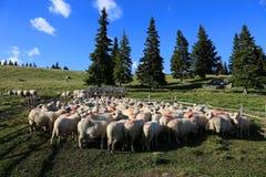 Cakle przy sheepfold w górze obrazy royalty free