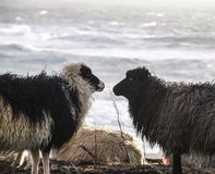 Cakle w Faroe wyspie Obraz Royalty Free
