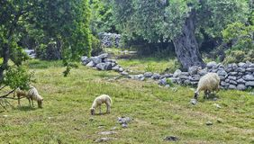 Cakle w naturze, przed oliwnym gajem i Peloponnesian górami, Grecja grupa cakle karmi wewnątrz paśnika obrazy royalty free