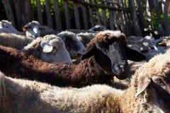 Cakle w sheepfold obraz royalty free