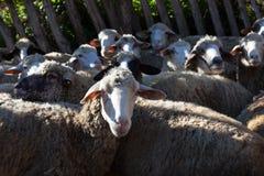 Cakle w sheepfold obrazy stock