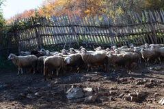 Cakle w sheepfold obrazy royalty free