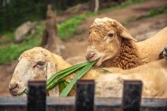 Cakle z jagnięcą łasowanie trawą w gospodarstwie rolnym Obraz Royalty Free