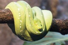 Calão, serpente Imagens de Stock Royalty Free