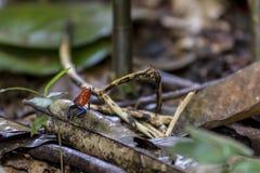 A calças de ganga arremessa a rã, pumilio Costa Rica de Oophaga fotos de stock