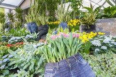 Calças longas usadas como plantadores com Sansevieria e tulipas, hortênsia e narcisos amarelos imagem de stock royalty free
